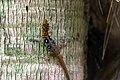 Ocellated gecko (Gonatodes ocellatus) male LTo 2.JPG