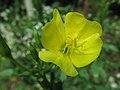 Oenothera biennis, 2021-09-10, Seldom Seen, 01.jpg