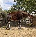 Okapi at London Zoo, 2010-08-05 02.jpg