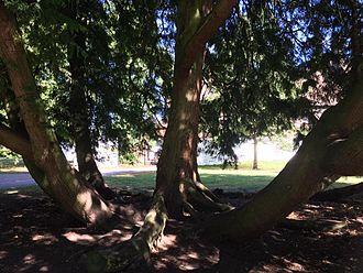 Wardown Park - large old trees in Wardown Park, Luton