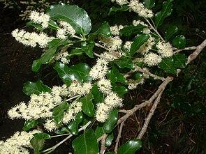 Olinia ventosa, Zweig mit Laubblättern und Blütenständen