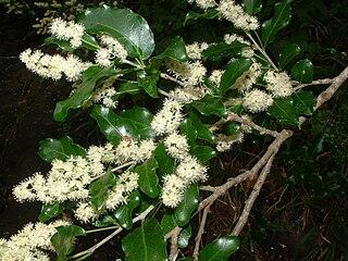 <i>Olinia ventosa</i> species of plant