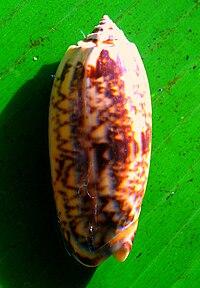 Oliva oliva shell.jpg