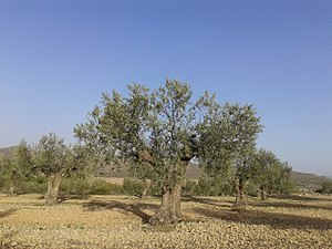 Olivar Centenario ecológico en la Sierra de Salinas, Yecla (Murcia).jpg