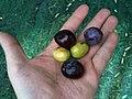 Olive Nostrale di Rigali 1.jpg