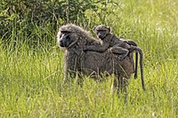 Olive baboon (Papio anubis) with juvenile.jpg