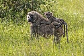 Olive baboon (Papio anubis) with juvenile.jpg