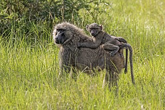 Olive baboon - Female with juvenile, Uganda