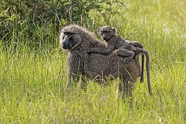 Olive baboon with juvenile