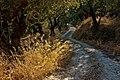 Olive grove, Amoudi IMG 6928 - panoramio.jpg