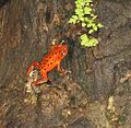 Oophaga pumilio- a spotted version - Flickr - Dick Culbert.jpg