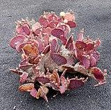 Opuntia macrocentra 01.jpg