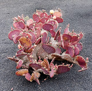 <i>Opuntia macrocentra</i> species of plant