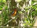 Orange-headed Thrush (Geokichla citrina) (31652582957).jpg