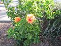 Orange flower at arkaba.jpg