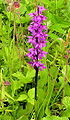 Orchis mascula2 (1).jpg