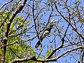 Oriental Pied Hornbill - Anthracoceros albirostris - Apr07 184.jpg