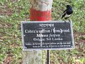 Oriental magpie-robin in RDA, Bogra 01.jpg