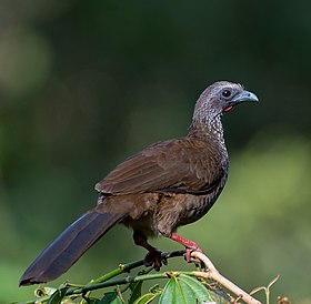 Ortalis guttata, Speckled Chachalaca (cropped).jpg