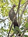 Ortalis squamata - Pelotas, Rio Grande do Sul, Brazil (cropped).jpg