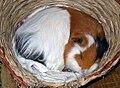 Otto the guinea pig, sleeping.jpg