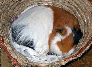 File Otto The Guinea Pig Sleeping Jpg Wikimedia Commons