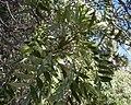 Owenia acidula foliage.jpg