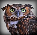 Owl stare (7763964676).jpg