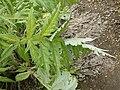 P1000580 Cynara cardunculus (Compositae) Leaf.jpg