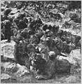 PSM V77 D473 Pod of pup fur seals.jpg