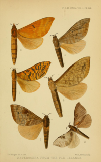 <i>Phassodes</i> species of insect