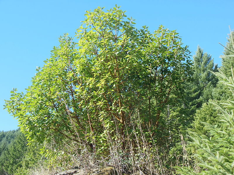 File:Pacific madrone in Oregon.JPG