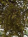 Pacific mistletoe (Phoradendron villosum) (5831666170).jpg