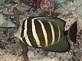 Pacific sailfin tang (Zebrasoma veliferum) (46864393955).jpg