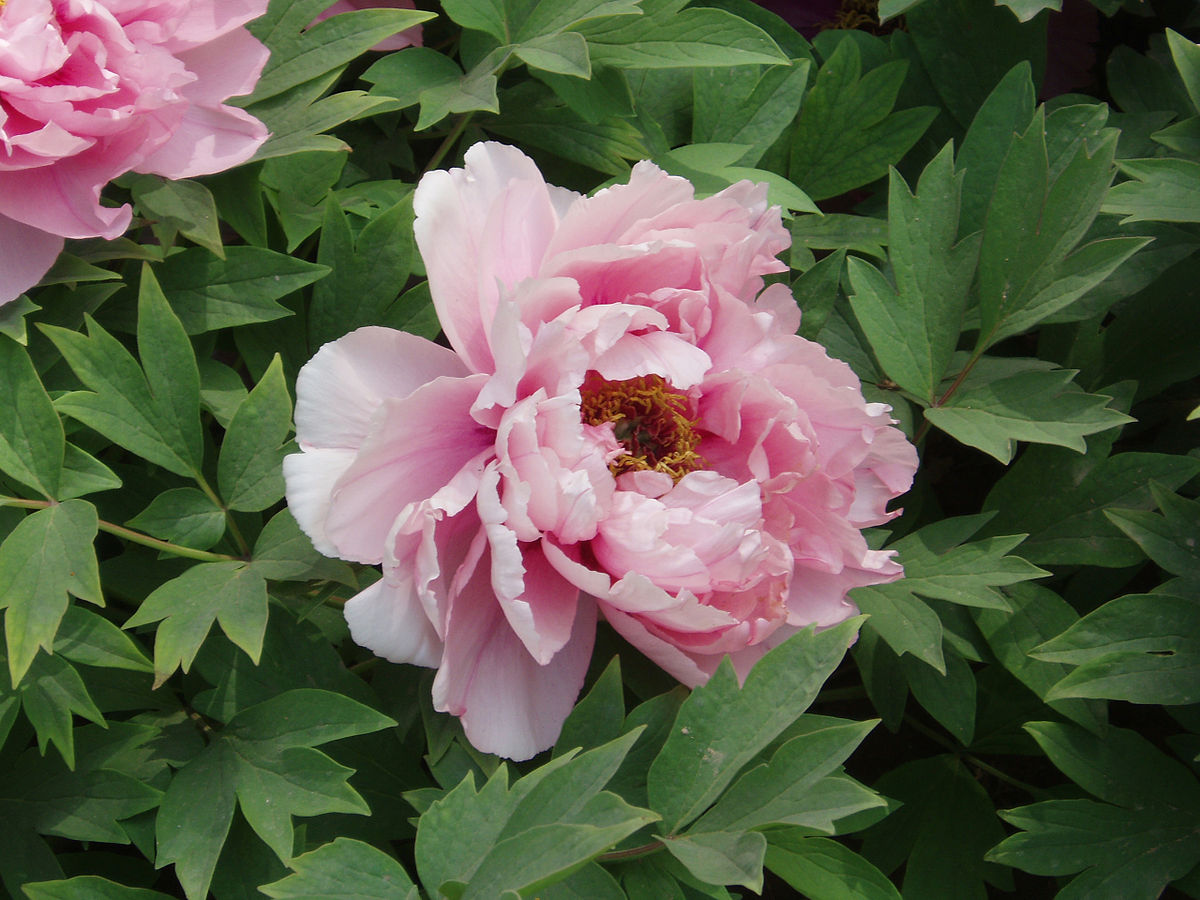 april birth flowers peony
