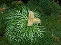 Paeonia tenuifolia 2016-05-31 1935.jpg