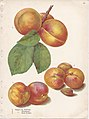 Page 19 apricot - St. Ambroise, Montgamet, Early Golden.jpg