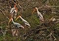 Painted Stork (Mycteria leucocephala) nesting in Garapadu, AP W IMG 5290.jpg