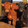 Pair of Calves in a Barn Near North End Farm - geograph.org.uk - 1741650 (cropped).jpg