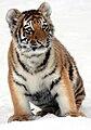 Panthera-tigris-altaica-young-tiger.jpg