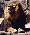 Panthera leo persica.jpg