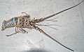 Panulirus argus (Caribbean spiny lobster) (San Salvador Island, Bahamas) 1 (15958276757).jpg
