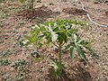 Papaya field (5143268792).jpg