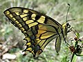 Papilio machaon 13.2.jpg