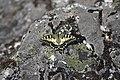 Papilio machaon PT.jpg