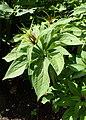 Paris polyphylla kz02.jpg