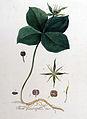Paris quadrifolia — Flora Batava — Volume v9.jpg