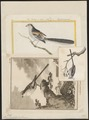 Parus caudatus - 1700-1880 - Print - Iconographia Zoologica - Special Collections University of Amsterdam - UBA01 IZ16100173.tif