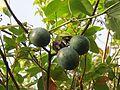 Passiflora ligularis, the sweet granadilla or grenadia at Mannavan Shola, Anamudi Shola National Park, Kerala (1).jpg