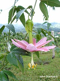Passiflora tarminiana Coppens & Barney